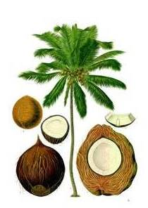 Coconut-Oil_1