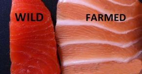 farmed-salmon-is-full-of-antibiotics-and-mercury-heree28099s-how-to-tell-if-your-salmon-is-safe
